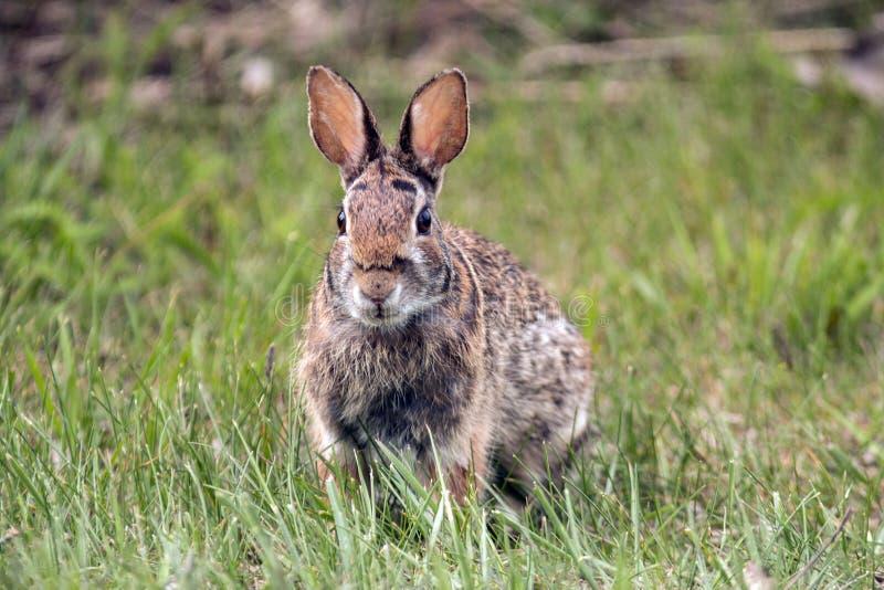 美洲雪兔的天兔座 免版税库存照片