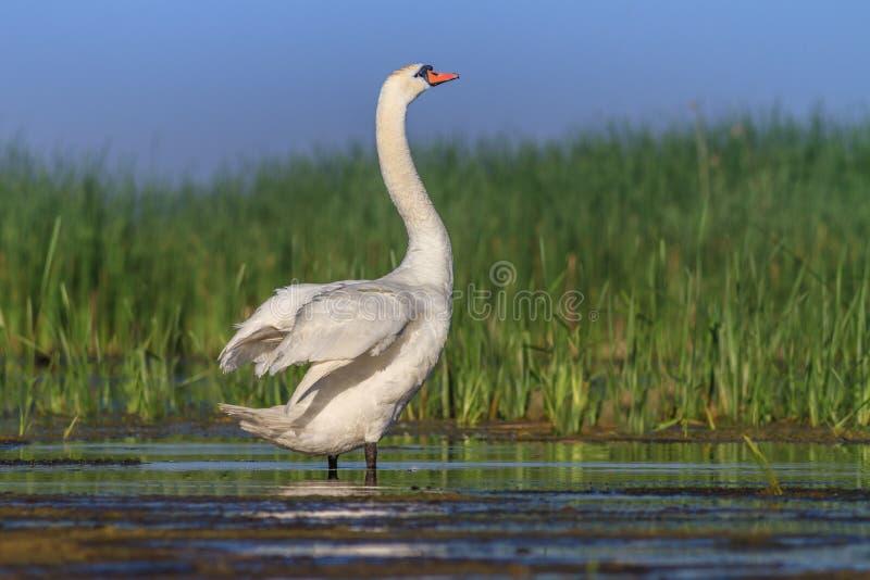 美洲天鹅(天鹅座天鹅座)在湖 免版税库存图片