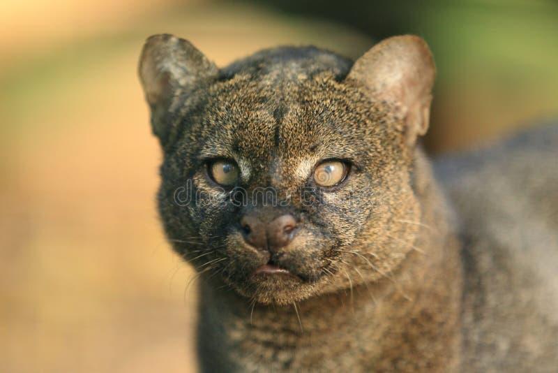 美洲山猫 免版税库存图片
