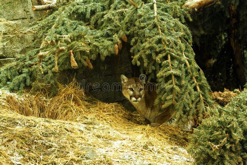 美洲狮掩藏 库存照片