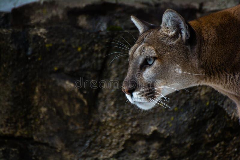 美洲狮眼睛 免版税库存图片