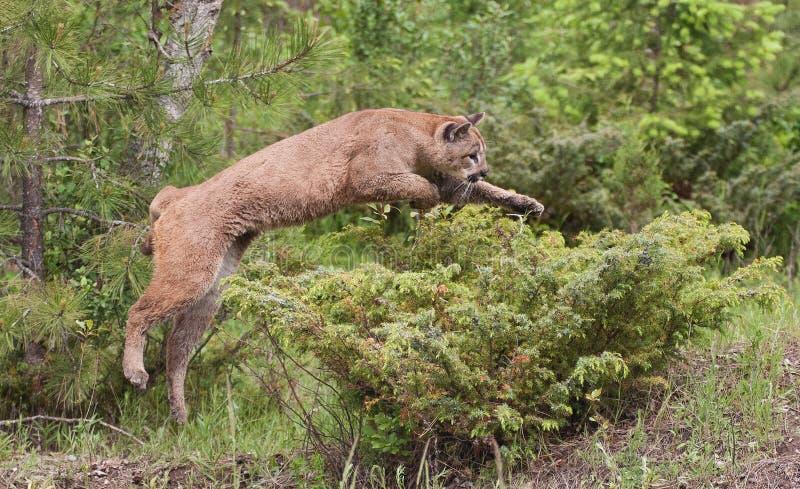 美洲狮跳跃 免版税图库摄影
