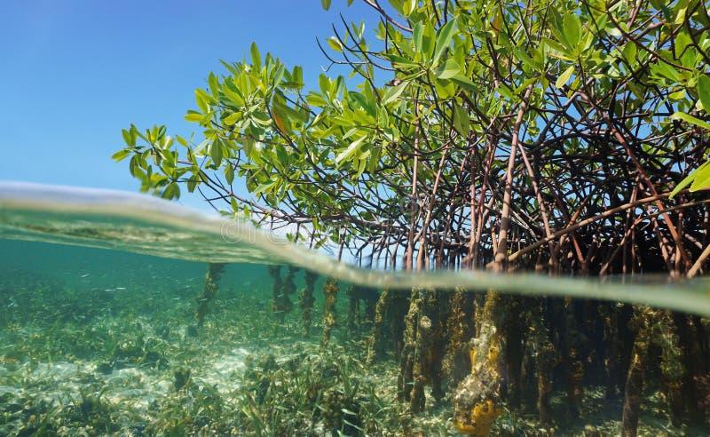 美洲红树在水上下的树根 免版税库存照片