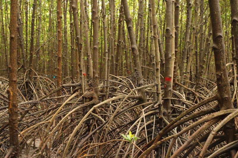 美洲红树树根在沼泽的 图库摄影