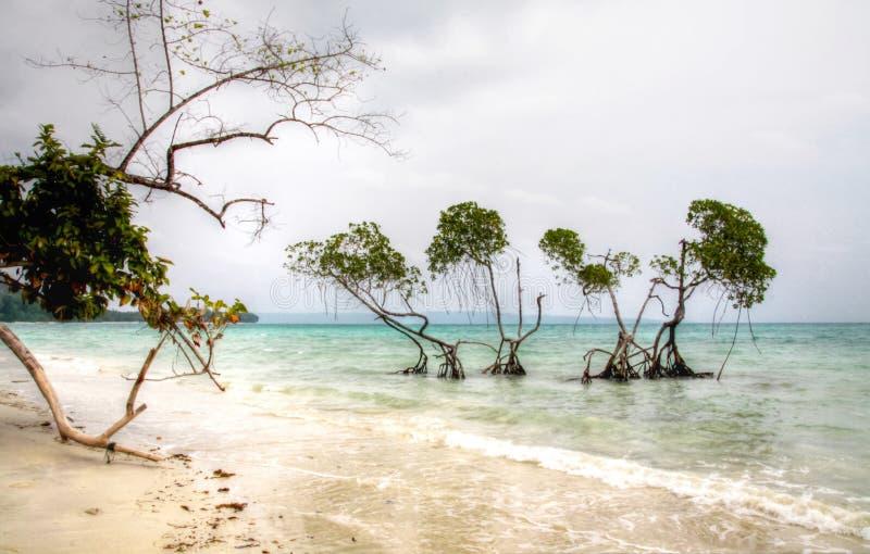 美洲红树树鲜绿色在朦胧的天浇灌安达曼海 库存照片