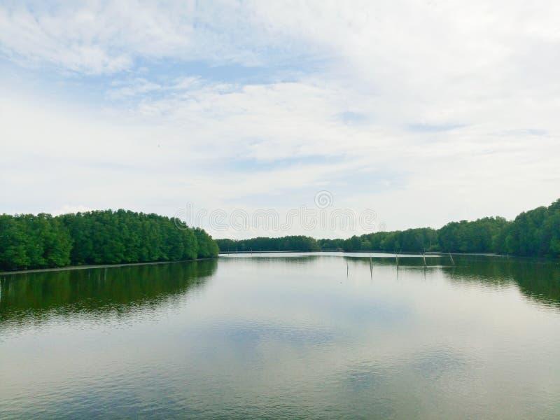 美洲红树森林在泰国 库存图片