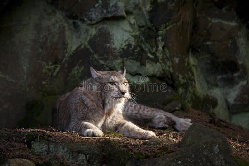 美洲野猫休息 库存照片
