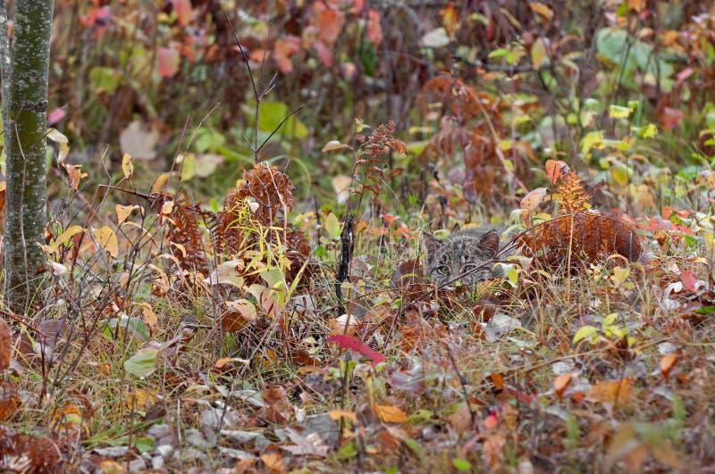美洲野猫小猫(天猫座rufus)偷偷靠近从草的观察者 免版税库存图片