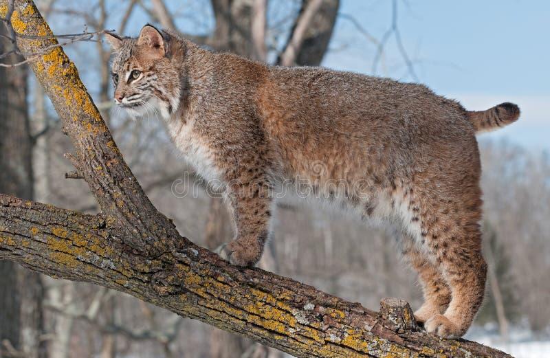 美洲野猫(天猫座rufus)在看树的分支站立左 免版税图库摄影