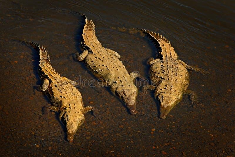 美洲鳄,湾鳄acutus,在河水的三个动物 从自然的野生生物场面 从河Tarcole的鳄鱼 免版税图库摄影