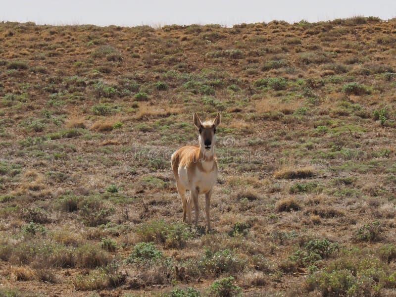 羚羊在东犹他 库存图片