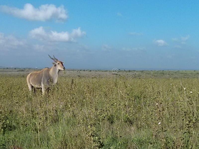 羚羊在肯尼亚,马塞语玛拉 图库摄影