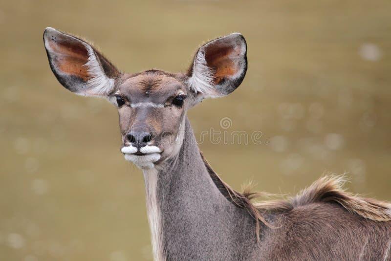 羚羊女性kudu 库存图片