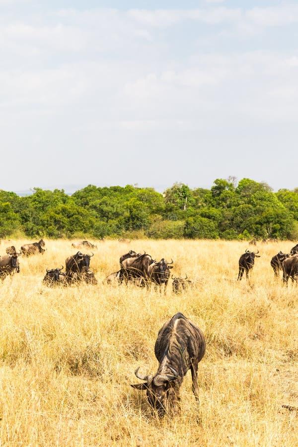 羚羊小牧群在大草原的 肯尼亚mara马塞语 免版税库存图片