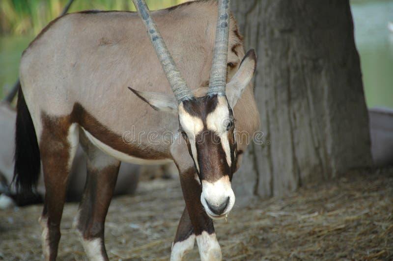 Download 羚羊属或大羚羊(羚羊属羚羊属) 库存图片. 图片 包括有 迟钝的, 动物区系, 瞪羚, 动物学, 草食动物 - 30332589