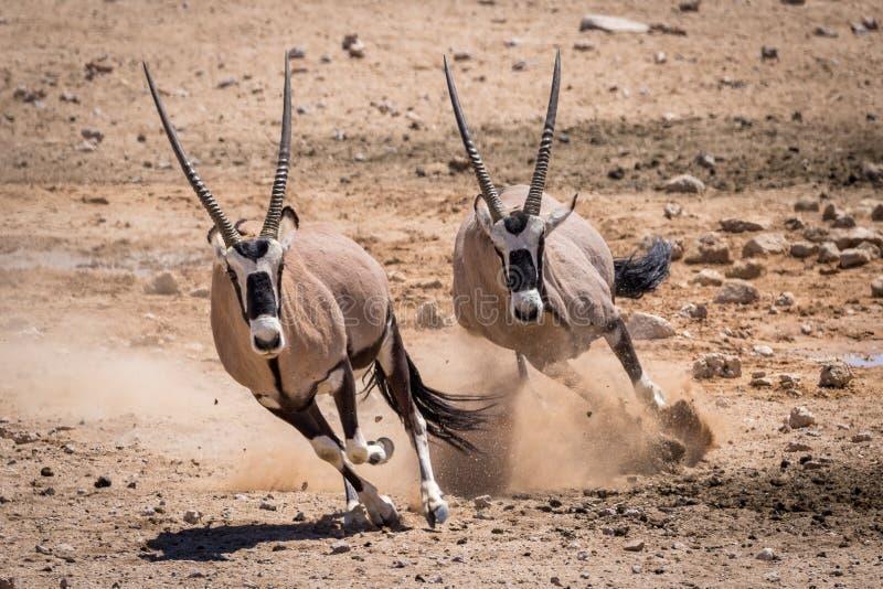 羚羊属沙漠追逐 库存照片