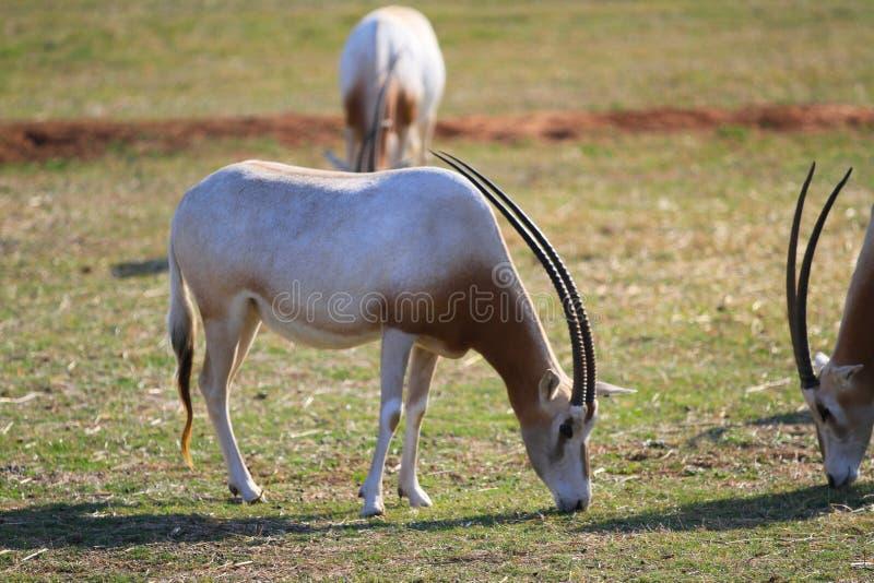 Download 羚羊属 库存图片. 图片 包括有 牧群, 破擦声, 野生生物, 大草原, 哺乳动物, 坦桑尼亚, 森林地 - 30329749