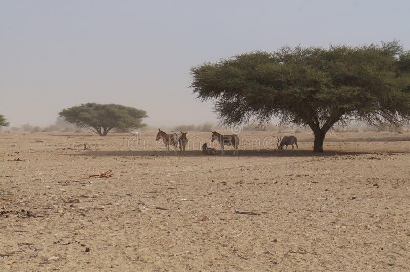 羚羊曲角羚羊曲角羚羊nasomaculatus和野生驴 库存图片