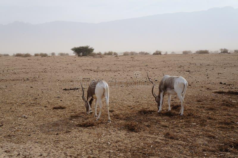羚羊曲角羚羊曲角羚羊nasomaculatus 免版税库存图片