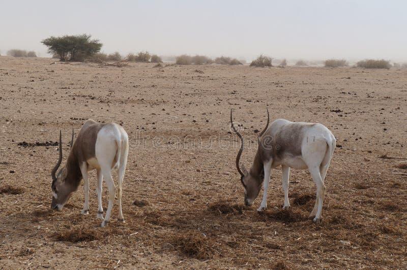 羚羊曲角羚羊曲角羚羊nasomaculatus 库存图片