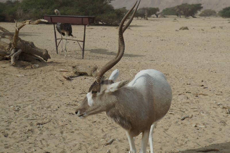 羚羊曲角羚羊曲角羚羊nasomaculatus 免版税图库摄影