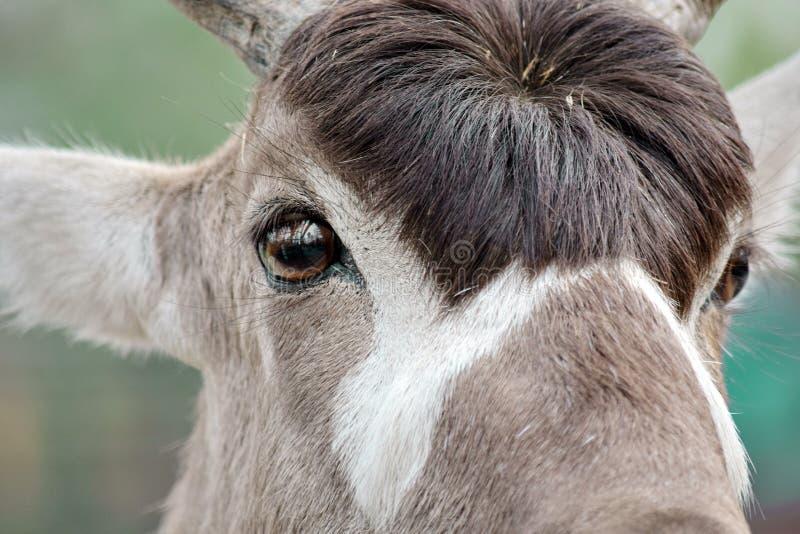 羚羊曲角羚羊Nasomaculatus头特写镜头 库存照片