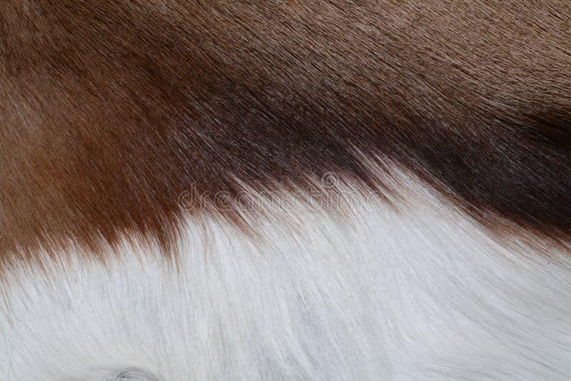 羚羊毛皮 免版税库存图片