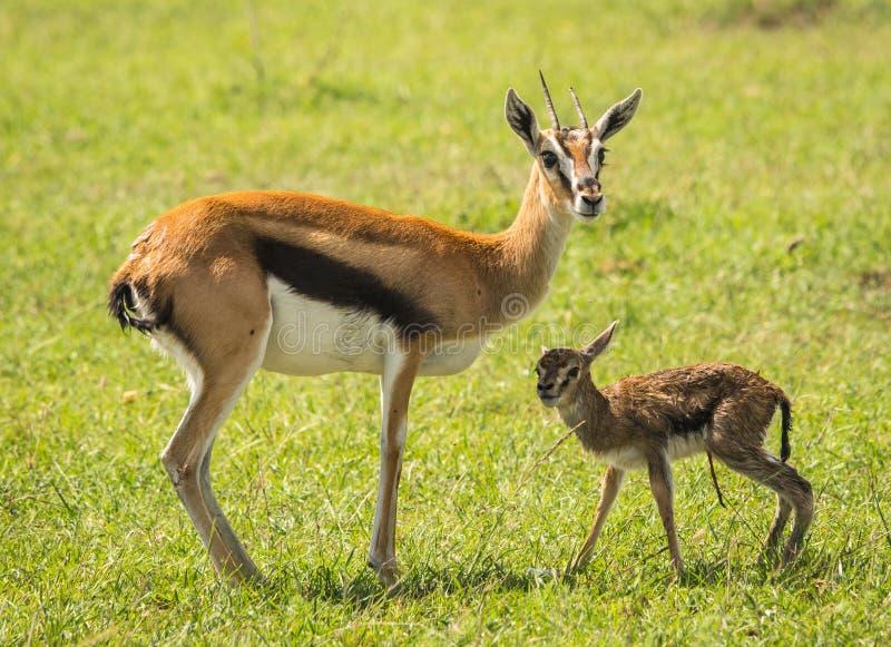 羚羊汤普森和她马塞语的玛拉,肯尼亚新出生的婴孩 免版税图库摄影
