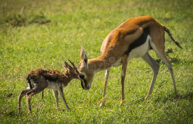 羚羊汤普森和她马塞语的玛拉,肯尼亚新出生的婴孩 图库摄影