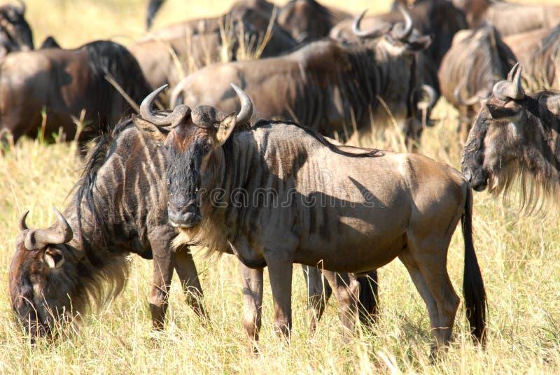 羚羊牛羚 库存图片