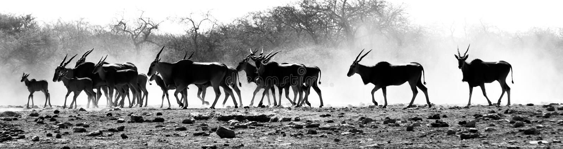 羚羊牧群在非洲沙漠 免版税图库摄影
