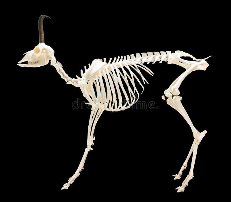 羚羊的骨骼在黑色的 免版税图库摄影