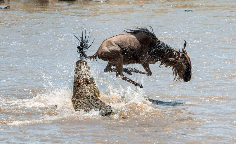 羚羊蓝色角马(角马属taurinus),接受了对鳄鱼的攻击 库存照片