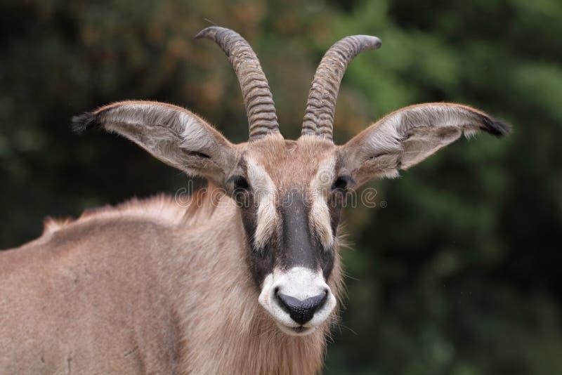 羚羊软羊皮 库存照片