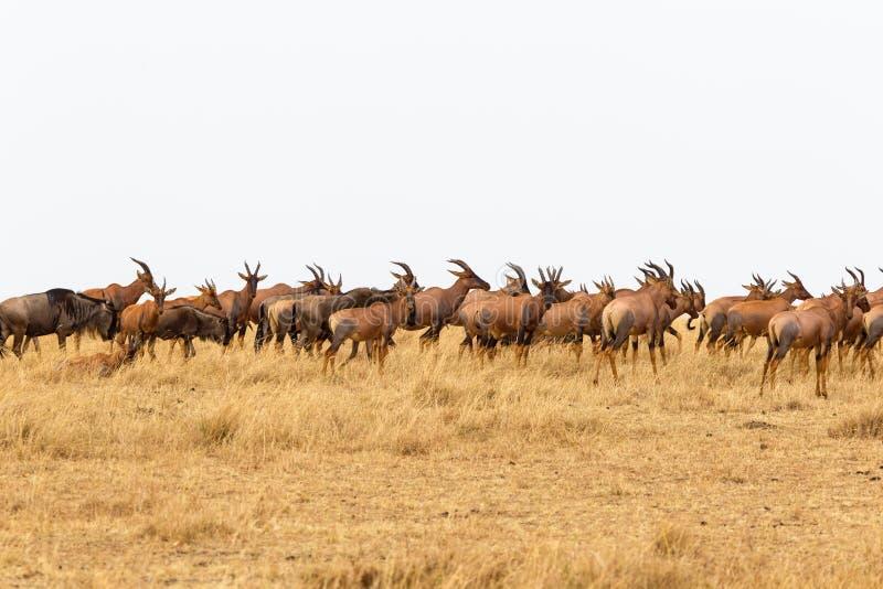 羚羊congonies小牧群在马塞语玛拉的 肯尼亚,非洲 免版税库存照片
