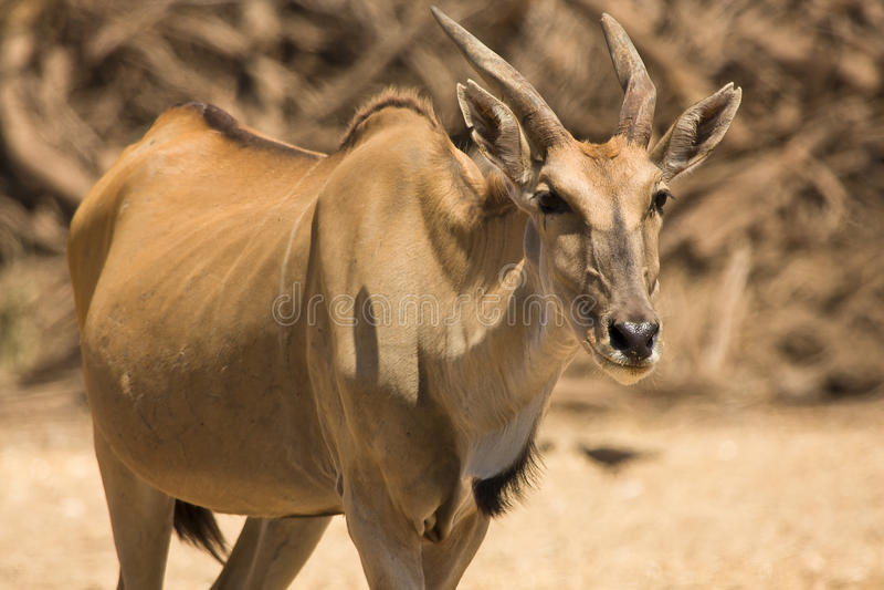 羚羊eland 库存图片