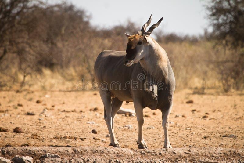 羚羊eland 免版税图库摄影