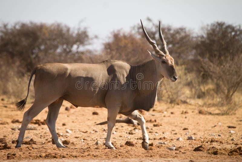 羚羊eland 图库摄影