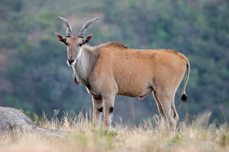 羚羊eland 免版税库存图片