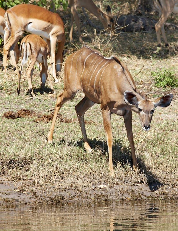 羚羊kudu 库存照片