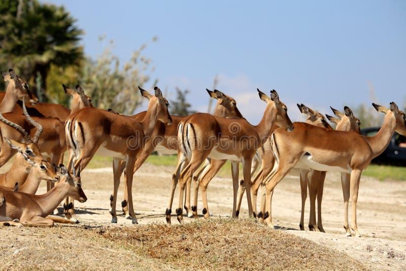 羚羊lechwe或水羚属leche 免版税库存照片