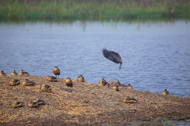 群一点吹口哨在Keoladeo加纳国家公园低头, 免版税库存图片