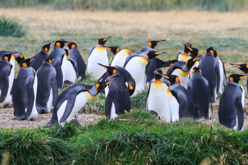 群企鹅国王, Aptenodytes patagonicus,休息在草在Parque Pinguino Rey,火地群岛巴塔哥尼亚 免版税库存照片