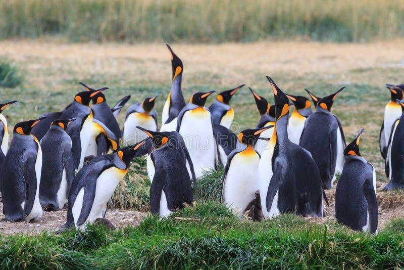 群企鹅国王, Aptenodytes patagonicus,休息在草在Parque Pinguino Rey,火地群岛巴塔哥尼亚 免版税库存图片