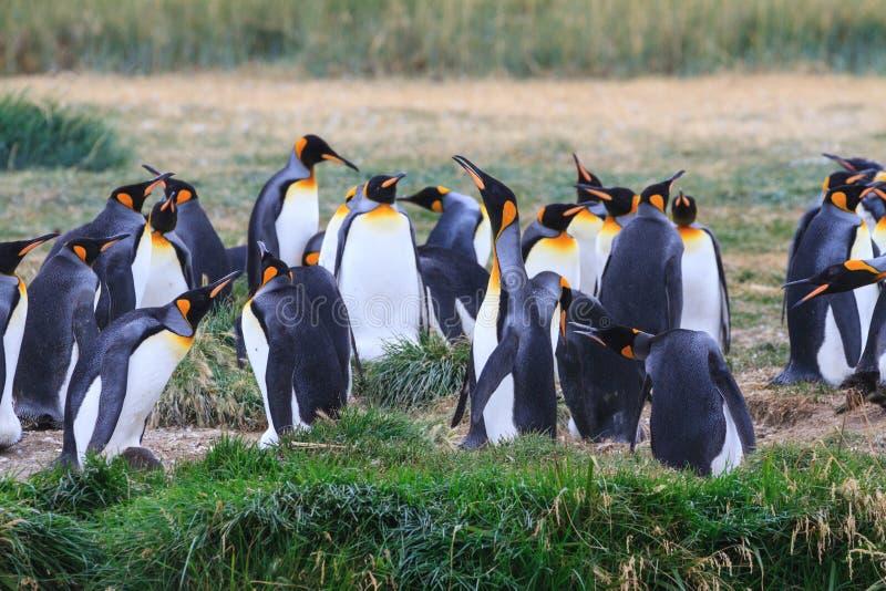群企鹅国王, Aptenodytes patagonicus,休息在草在Parque Pinguino Rey,火地群岛巴塔哥尼亚 免版税图库摄影