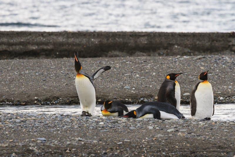 群企鹅国王, Aptenodytes patagonicus,基于海滩在Parque Pinguino Rey,火地群岛巴塔哥尼亚 库存图片