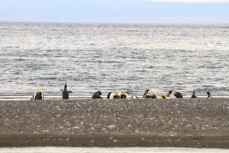 群企鹅国王, Aptenodytes patagonicus,基于海滩在Parque Pinguino Rey,火地群岛巴塔哥尼亚 免版税库存照片
