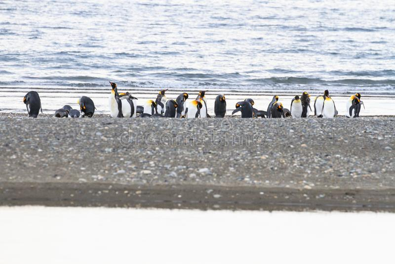 群企鹅国王, Aptenodytes patagonicus,基于海滩在Parque Pinguino Rey,火地群岛巴塔哥尼亚 图库摄影