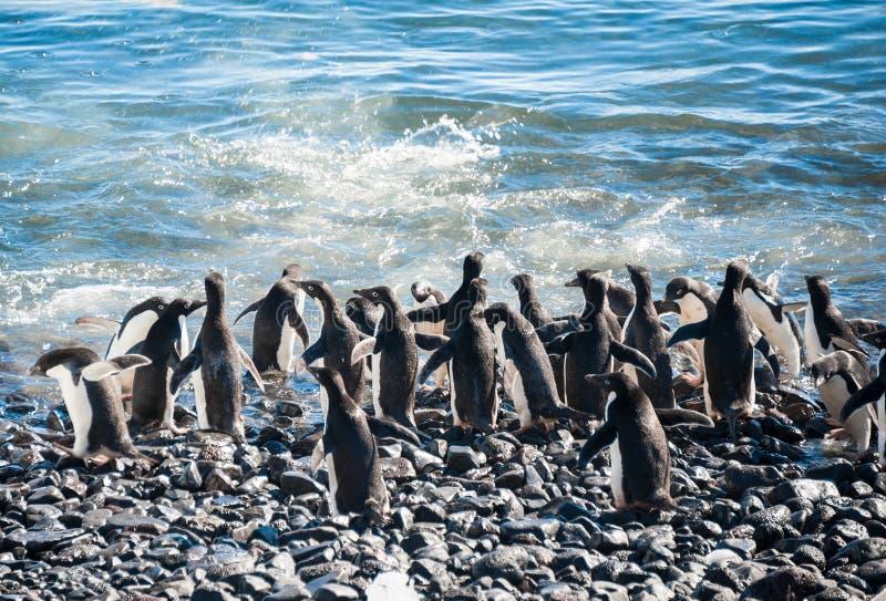 群在海滩的Gentoo企鹅 免版税库存图片
