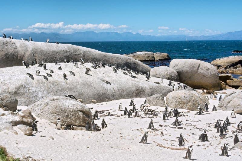 群在海滩的小的企鹅 免版税库存照片
